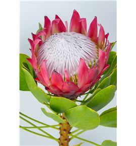 Protea cynaroides 40 - PROCYN