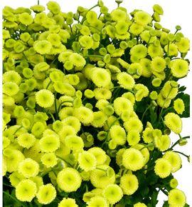 Tanacetum yellow vegmo 60 - TANYELVEG