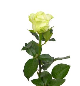 Rosa avalanche 50 - RAVA