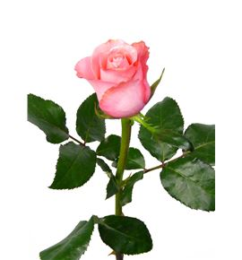 Rosa lenny 50 - RLEN