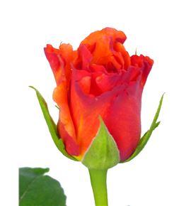 Rosa milva 50 - RMIL