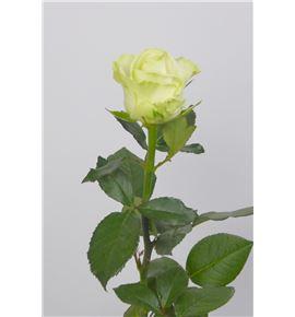 Rosa avalanche 60 - RAVA