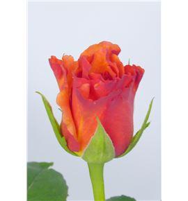 Rosa milva 60 - RMIL