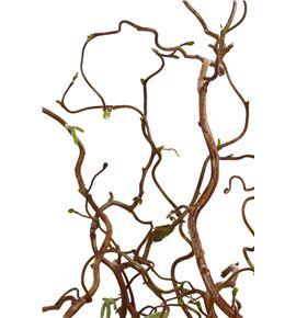 Corylus contorta 120. - CORCON