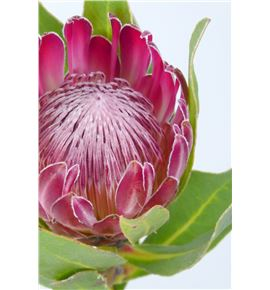 Protea fucsia 60 - PROFUC