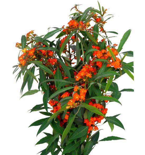 Euph orange queen 70 - EUPORAQUE