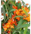 Euph orange queen 70 - EUPORAQUE1