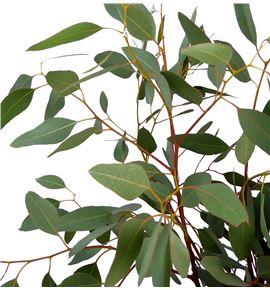 Eucaliptu polyanthemos 60 - EUCPOL