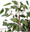 Eucaliptu polyanthemos 60 - EUCPOL1