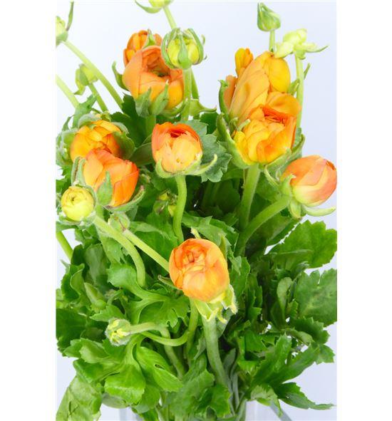 Ranunculo elegance orange 32 - RANELEORA