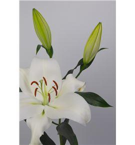 L.o. zambessi 1ª 2 flores - LOZAM