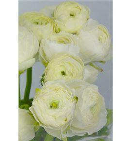 Ranunculo elegance white 32 - RANELEWHI