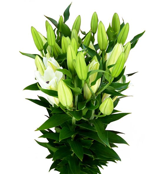 Lilium oriental hol signum 85 - LOHSIG