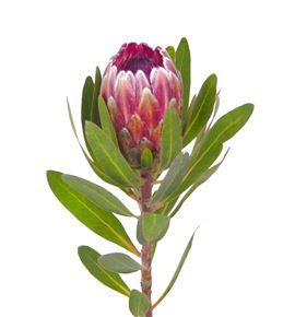 Protea pink ice 40 - PROICEPIN