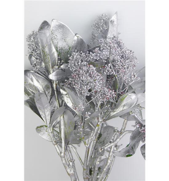 Skimmia teñido plata - SKITINPLA