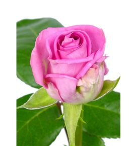 Rosa aqua 40 - RAQU