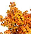 Ilex cresgold 40 - ILECRE1