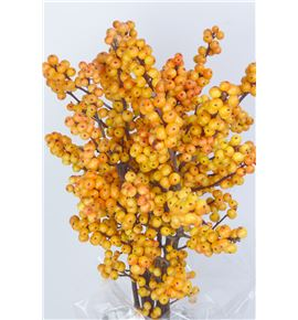Ilex cresgold 50 - ILECRE