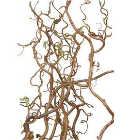 Corylus contorta 100. - CORCON