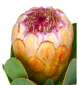 Protea grandicolor 50 - PROGRA