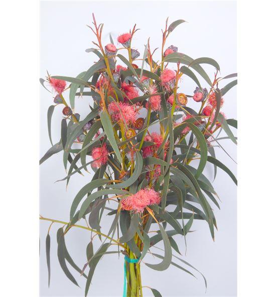 Eucaliptu fruto rojo - EUCFRUROJ
