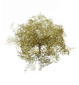 Helecho coral oro - HELCORORO