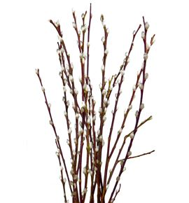 Salix wilgenkatjes 90 - SALWIL