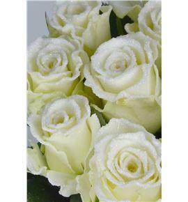 Rosa alpe d´huez purp blanca 60 - RGRALPBLA