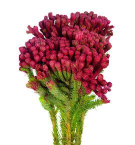 Brunia albiflora rojo 40 - BRUALBROJ