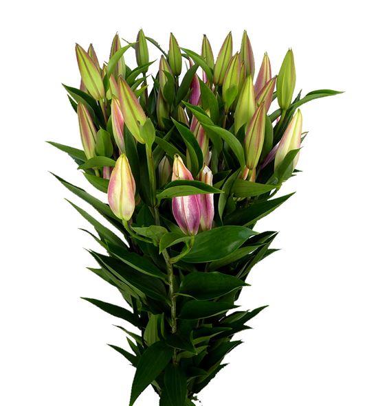 Lilium oriental hol paradero 90 - LOHPAR