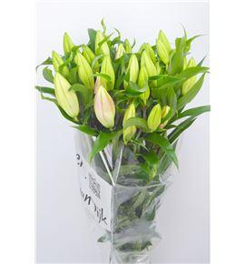 Lilium oriental hol fenice 80 - LOHFEN