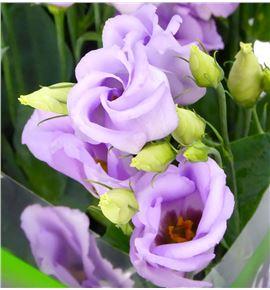 Lisianthus piccolo lavender 75 - LISPICLAV