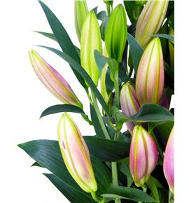 Lilium oriental hol calvados 85 - LOHCAL