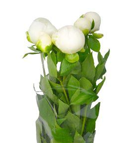 Paeonia duchesse nemo x5 50 - PAEDUCNEM