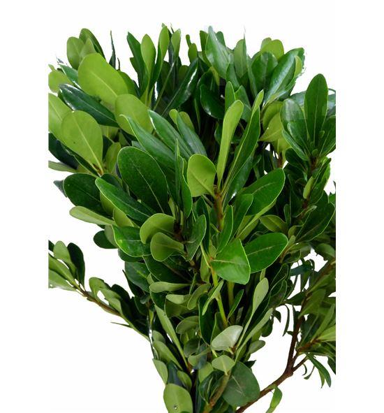 Pittosporum nuri 55 - PITNUR