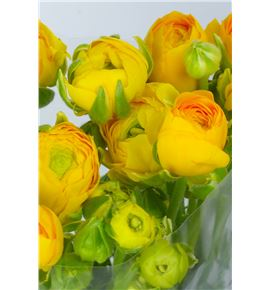 Ranunculo amarillo - RANAMA