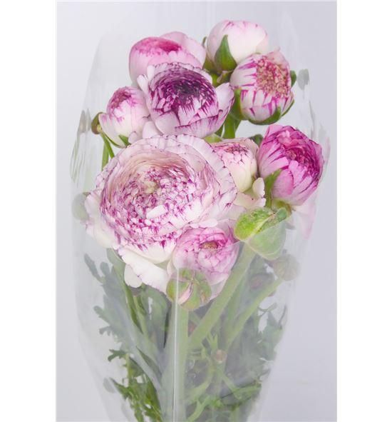Ranunculo blanco rosa - RANBLAROS