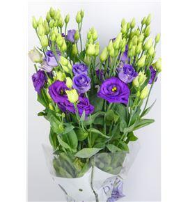 Lisianthus rosita blue 65 - LISROSBLU