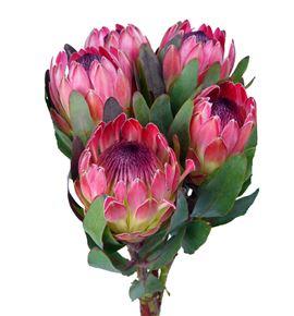 Protea silvia 50 - PROSIL