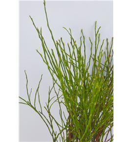 Vaccinium myrtillus 40 - VACMYR