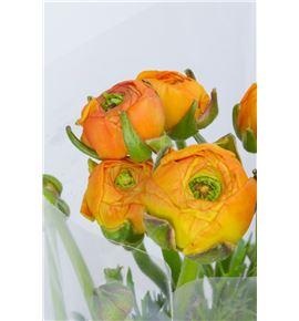 Ranunculo naranja - RANNAR