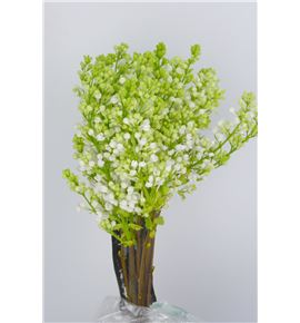 Syringa florent stepman 40 - SYRFLOSTE