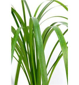 T-grass - TGRA