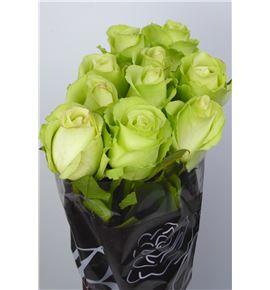Rosa hol green flash 60 - RGRGREFLA