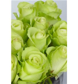 Rosa hol green flash 60 - RGRGREFLA