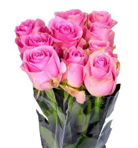 Rosa hol. pink avalanche 70 - RGRPINAVA