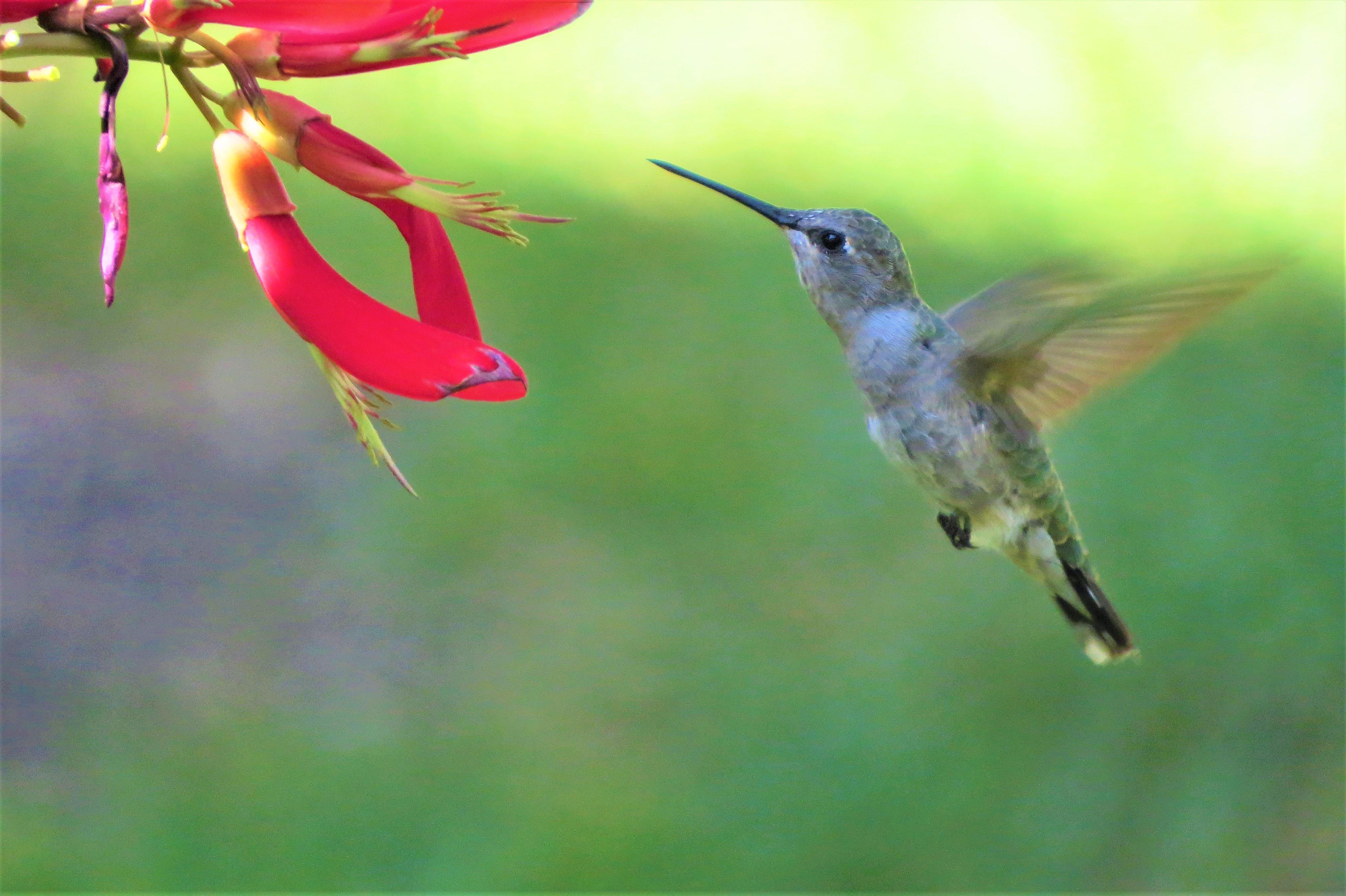 polinización colibrí